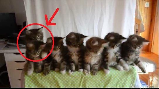 7只小猫整齐随音乐摆头跳舞,最左那只最后做了一个动作,让网友都笑翻了