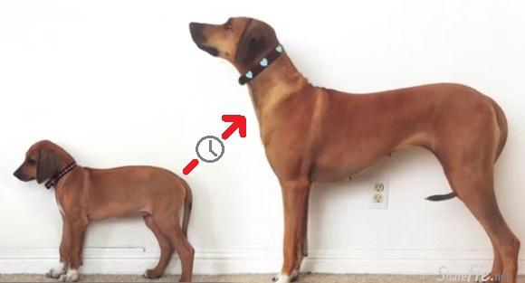 23秒看完罗德西亚背嵴犬从两个月大到三岁的成长变化...