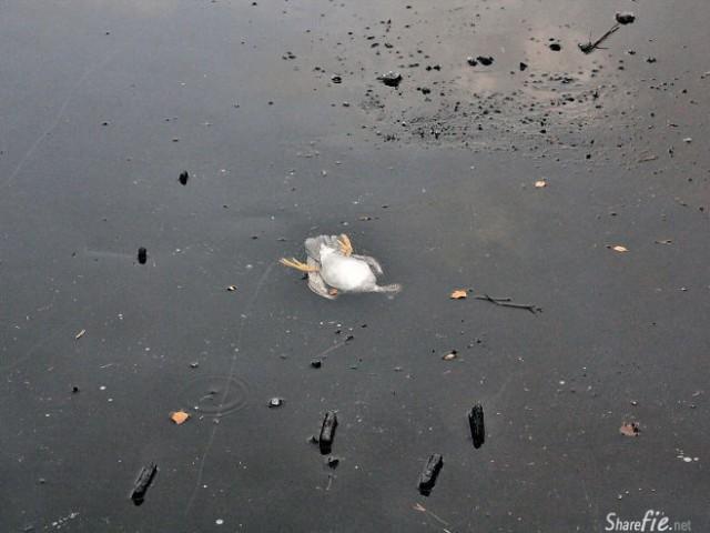 鸭子卡在结了冰的湖面上无法动弹,男子破冰营救