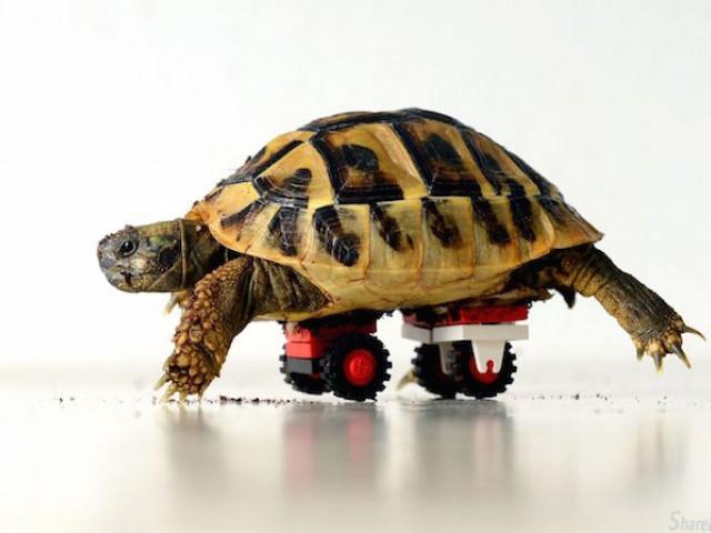 乌龟的滑板?这是医生专为它而设计的轮椅,因为它的四肢长满了寄生虫...