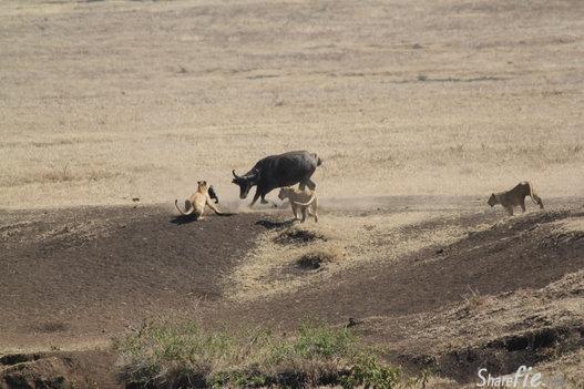 让你心跳加速的狮子猎食,勇敢的妈妈极力保护遭咬掉的孩子,结局让人意想不到