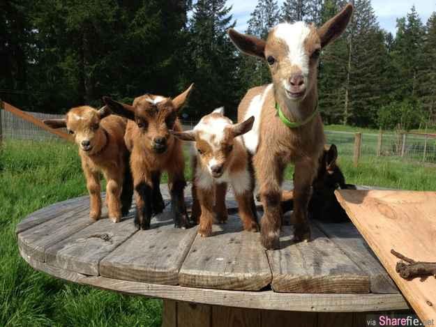 20张好得意的小羊,怎么有些羊羊的毛纹好特别哟