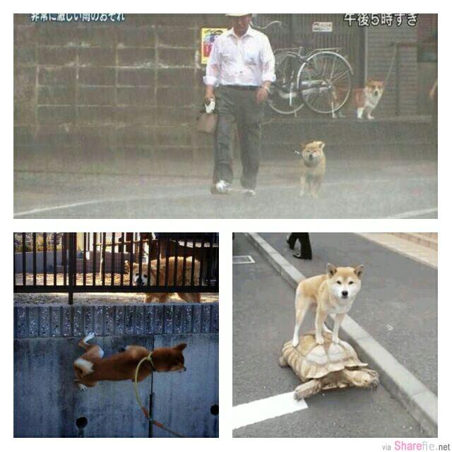 柴犬的7個特殊才能大公開,它是一只散步狂,也常爱搞笑!最后的那个搞笑动作,让网友们都笑翻了