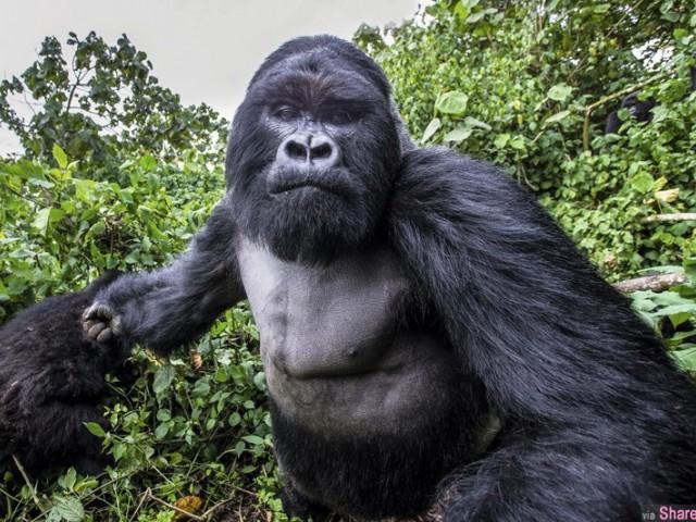 法國攝影師拍野生大猩猩发生状况,慘遭猩猩揮拳!