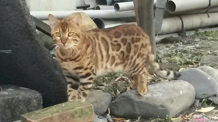 网友阿公好心收养了一只乞食的貓貓,照片po上网眼尖網友驚呼:2萬高級流浪貓!