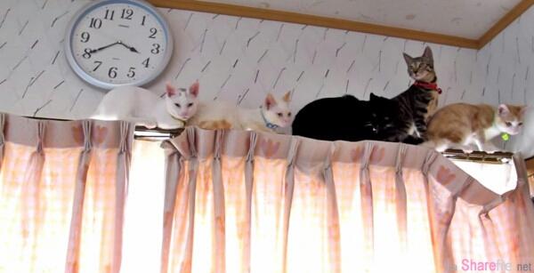 我們現在怎麼辦啦!5隻呆喵爬上窗簾「大塞車」下不來