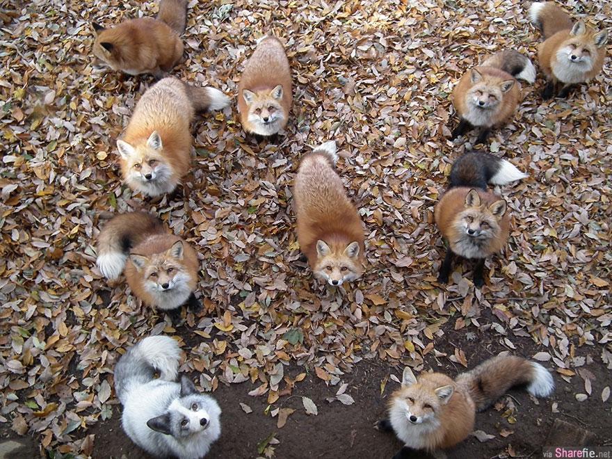 每个人都知道狐狸是狡猾,但在日本的一个村庄里这群可爱的狐狸肯定让你改观