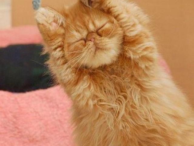 24只猫咪伸懒腰的可爱的动作。。这样伸展才舒服啊