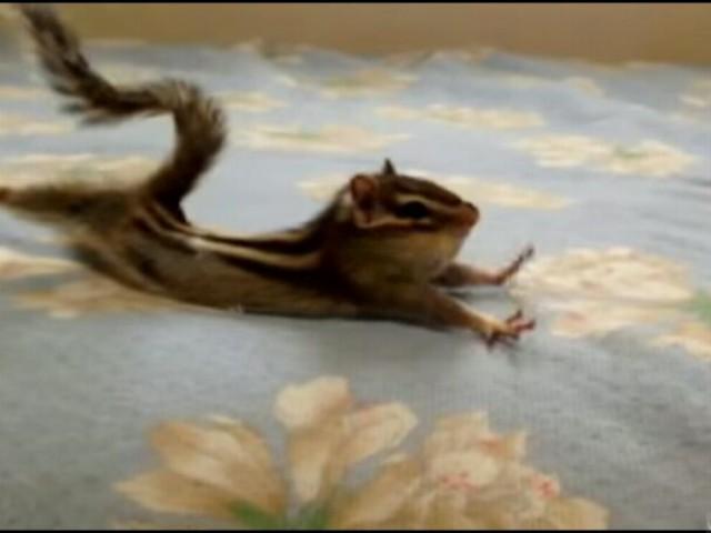 这只小松鼠早上醒来打哈欠伸懒腰的舒展动作,幼幼的脚趾,哇塞!真的超级可爱..