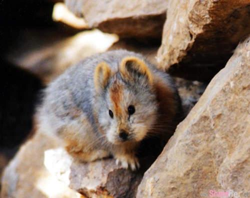 《伊犁鼠兔》到底是鼠鼠還是兔兔~讓人傻傻分不清楚的瀕危萌物,网友:看起来更像皮卡丘