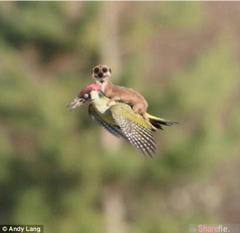 网络暴红的黃鼠狼与啄木鳥!惨遭网友恶搞...但它们骑在一起的真相會讓你大吃一驚