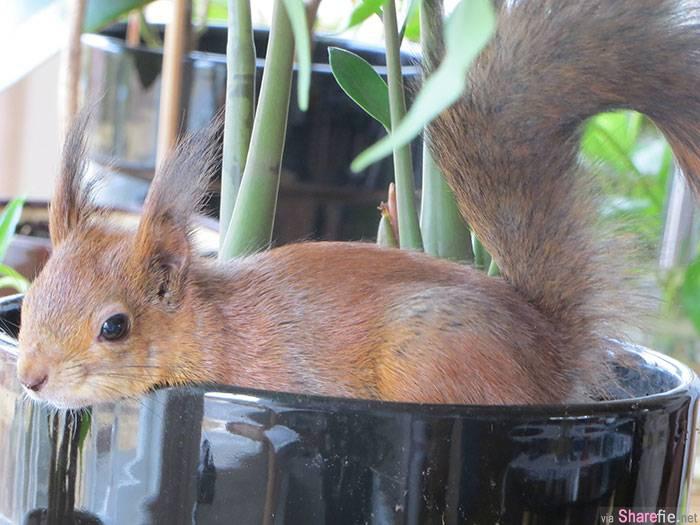 这只受伤的小松鼠被救起来后与主人一起生活了六年