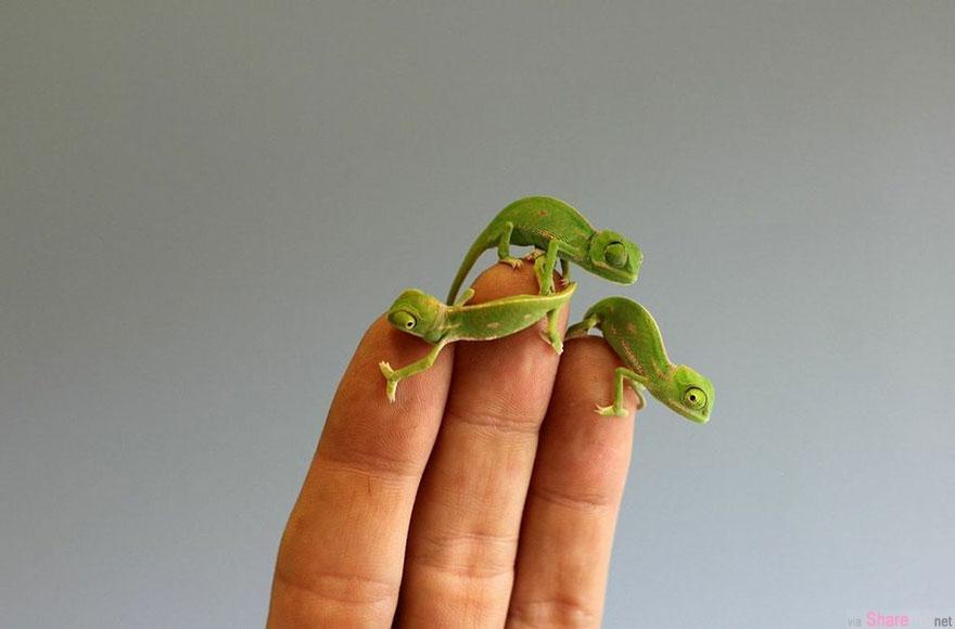 澳洲悉尼的动物园迎来了20几只变色龙小baby,看着只有手指般大小的它们卷在手指上,太舒服了
