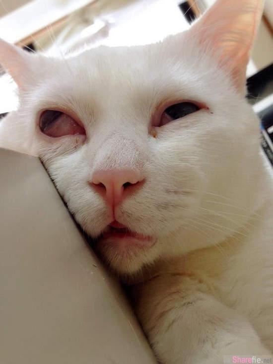 这只可爱的美人小白猫