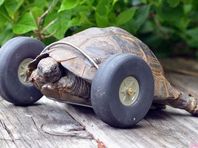 这只90高龄的老乌龟两只前脚遭老鼠咬掉,结果主人帮它加了前轮,爬的更快
