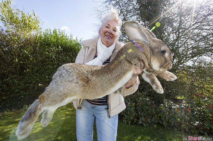 世界上超大的兔子,但他的孩子将会比它更大只..它们是吃什么长大?