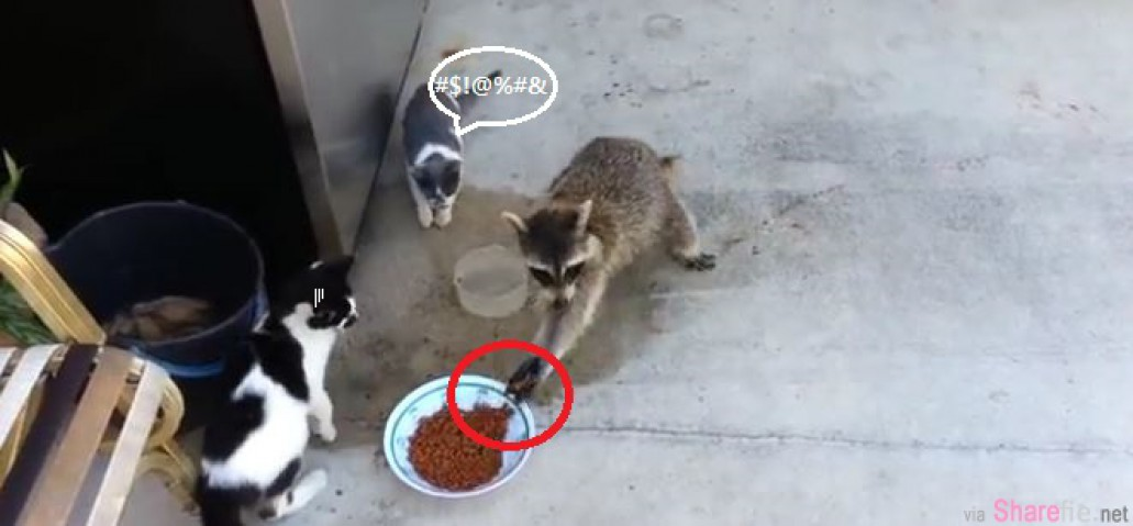 这只狸偷了猫食,看它用剩下的两只腿逃跑绝对让你爆笑