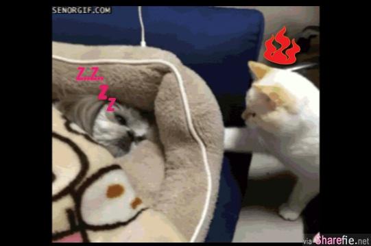 这只猫咪发现睡床被霸占了,结果使出了铁头和猫爪功把正熟睡的狗狗赶走