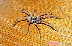 """这个人不知眼前的""""长脚""""蜘蛛是怀孕的,拿起扫把打下去,结果数不清的小蜘蛛就..."""