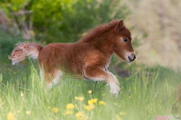 24张超可爱的迷你马,千万别让您家小孩见到