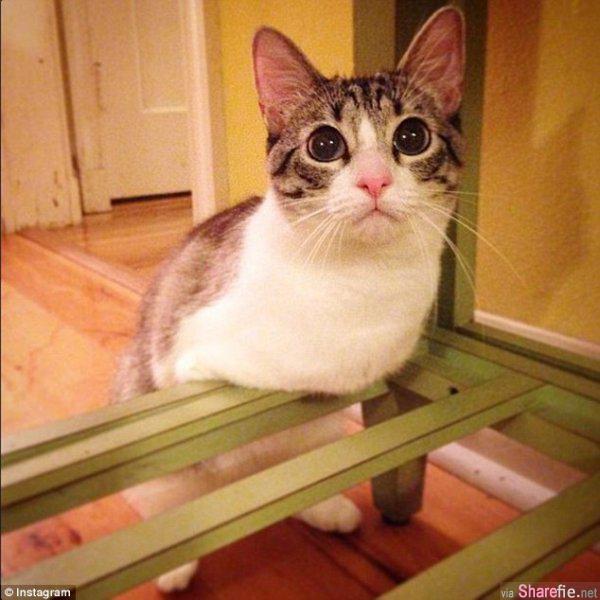 天生没有前腿的Roux,动起来绝不输给任何一只猫咪哦