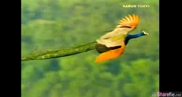 难得一见的孔雀飞翔,真是翩若惊鸿