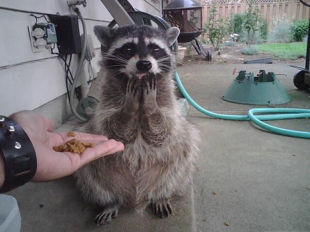 小心!有浣熊現出没,他们好可爱的模样会让你融化哦