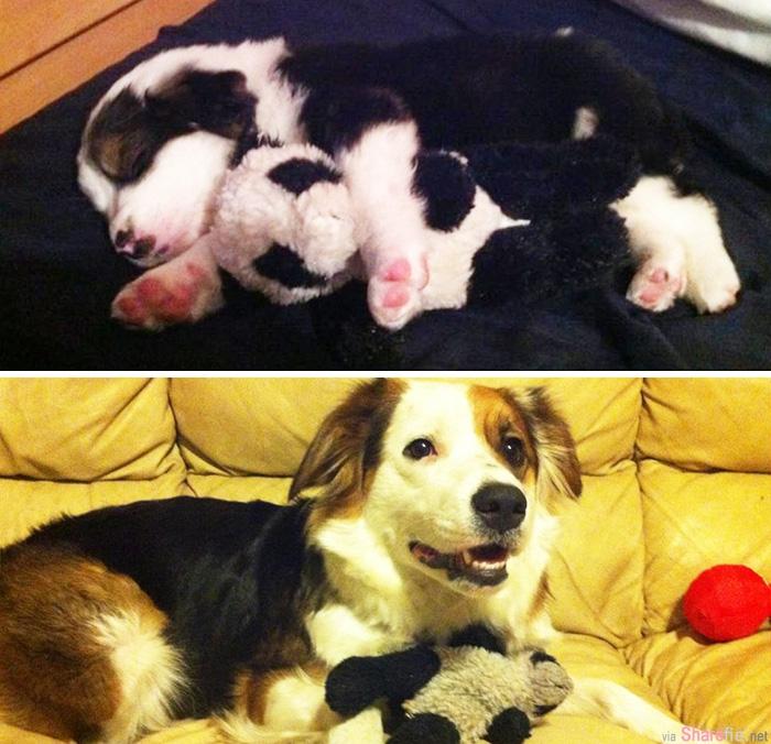 33张狗狗猫咪小时候和长大后抱着玩具的对比照