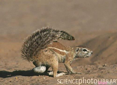 《南非地松鼠》超意外萌點發現 小動物真的不適合這麼大顆啦