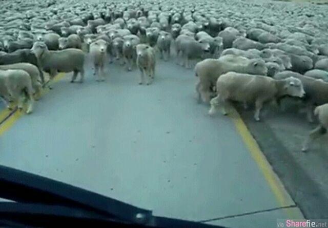 哇!让人傻眼的塞车场面!成千上万的羊群把马路给堵住了 但更想不到的是...