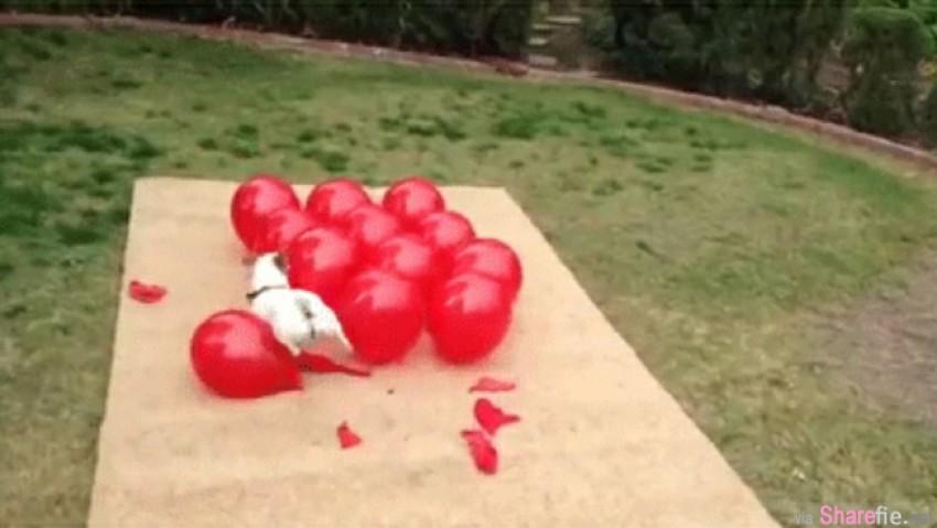 千万不要让这只狗狗看到气球,因为它会...