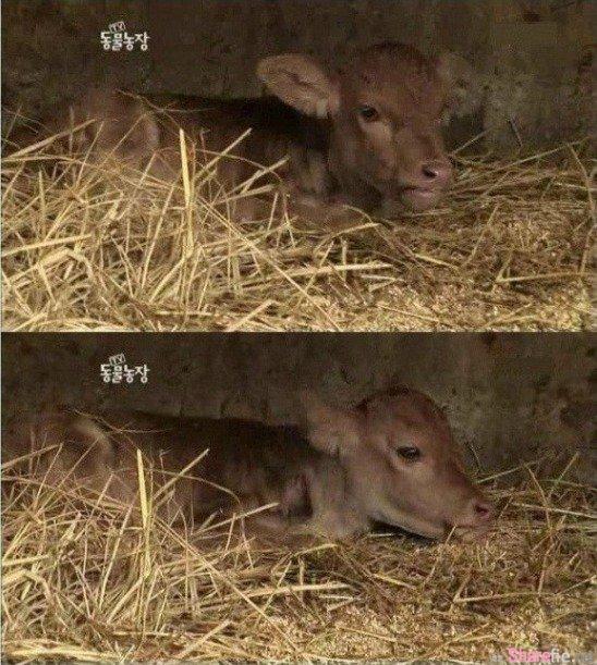 这头出生就没有尾巴和肛门的小牛将要面临安乐死,最后的结局会让你和小牛一样掉眼泪