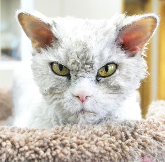 这只凶神恶煞的灰卷毛猫咪,睡起觉来却是无比可爱