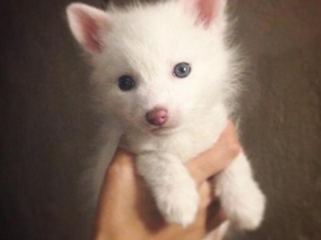 这是一只被驯化家养的小白狐 Rylai, 看来Instagram的寵物王要被这小萌货给取代了
