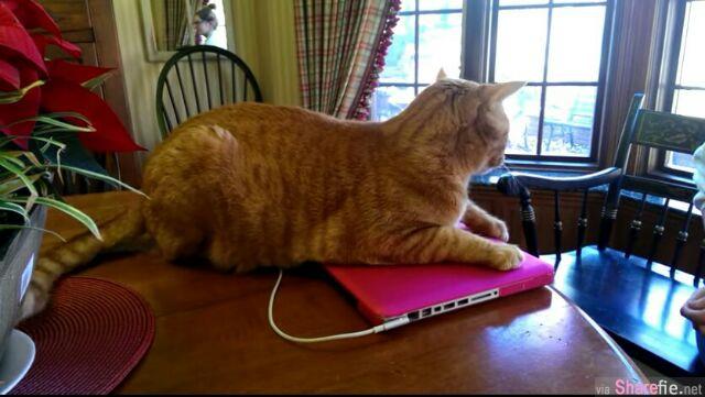"""当主人想要拿走手提电脑,这只猫咪可能觉得""""热垫""""太舒服了,竟然不给..."""