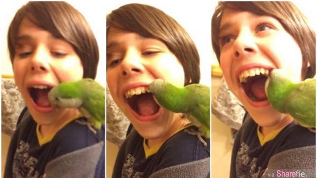 这只鹦鹉当起了牙医居然懂得为小主人拔牙