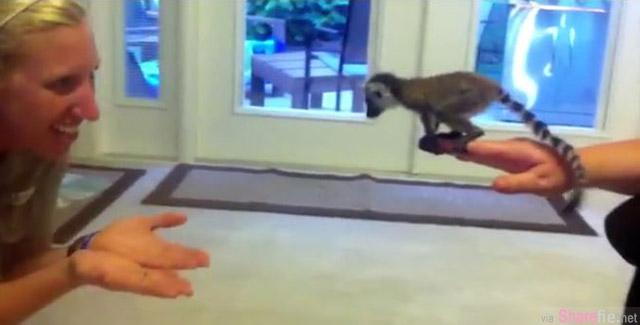 这只正在学跳的小狐猴,看它要跳不跳的模样让拍摄人员忍不住笑出来