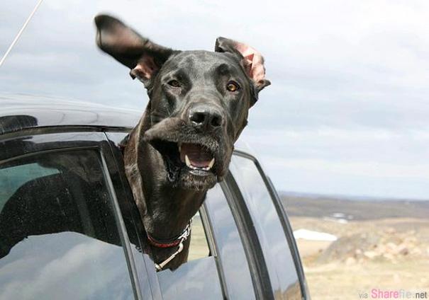 28张狗狗坐车兜风的超好笑模样,风把狗狗变得好凶啊