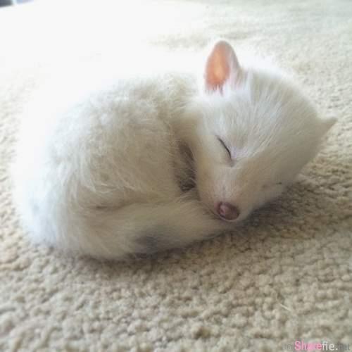 这是一只被驯化家养的小白狐