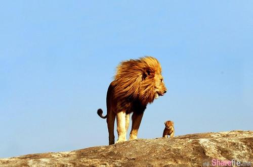 远远地看见一条疯狗,雄狮赶紧躲开了。 小狮子说:爸你多丢人啊? 狮爸爸这样回答...