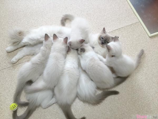 不要争了!一群小猫咪抢着吸奶,猫妈妈表情似乎快顶不住了...