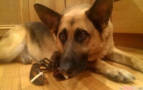 这只德国牧羊犬拼命保护龙虾,不让主人煮来吃,画面感动了网友,难道他们是...