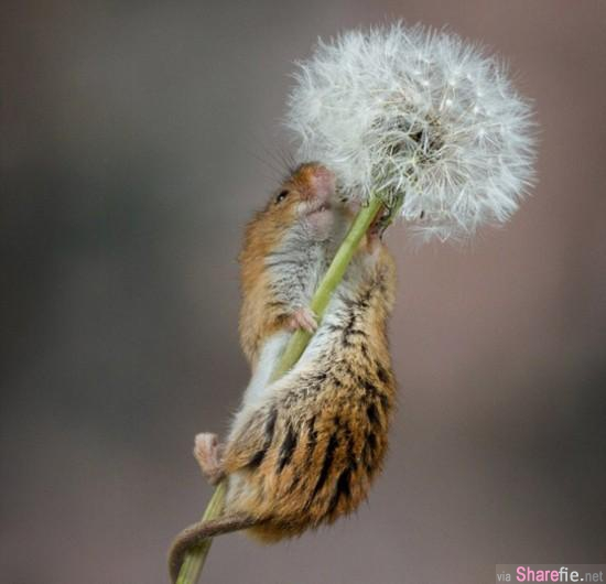 小鼠爬上蒲公英 浑身粘满毛茸茸的种子