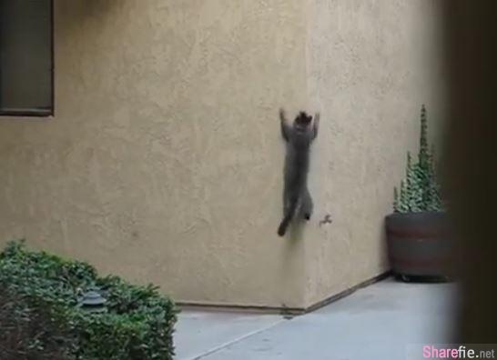 這只小貓偷偷摸摸,東張西望的。。原來它是一隻蜘蛛貓,只為了...