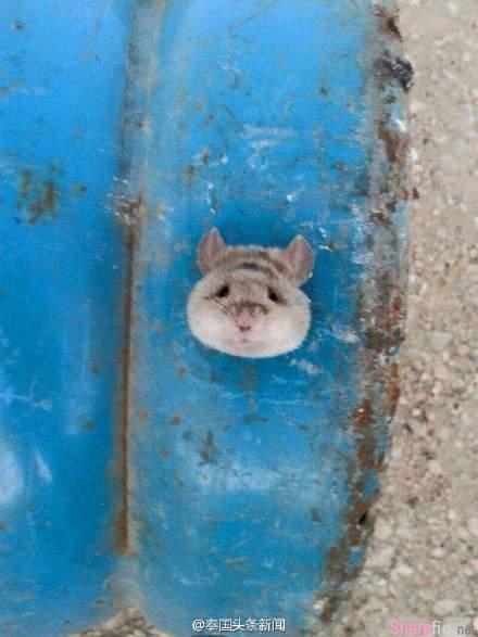 一隻頭部卡在煤氣罐孔洞裡的老鼠… 表情萌到讓人專門請人员來救援