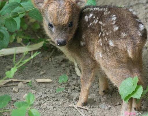 超迷你! 世界最小只有15公分的鹿宝宝诞生了