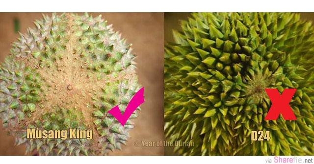 教你如何分辨真假猫山王 Musang King,傻傻被砍菜头還不知道