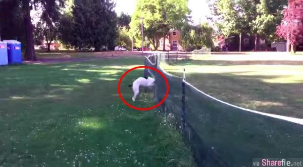 超绝神技!这只狗狗高速冲向网子的结果是...(千万别眨眼)