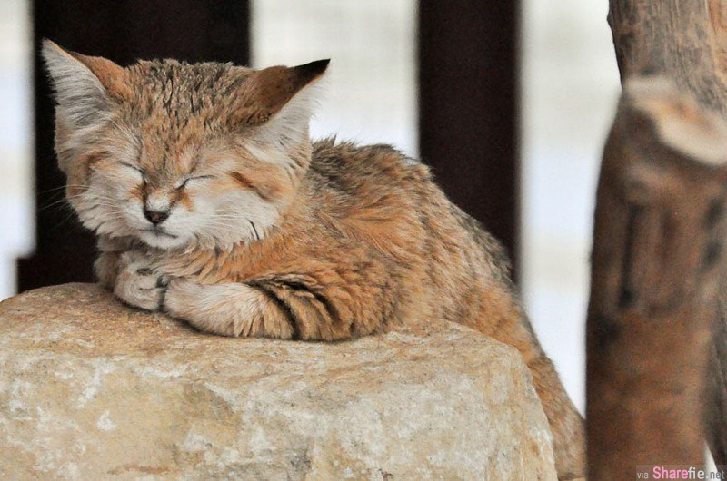 超萌娃娃臉「沙漠貓」Sand Cat 居然吃蜥蜴維生!