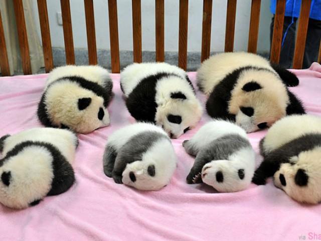 一只大熊猫谁都见过,但有这么多只小小熊猫可爱到让人超想抱一抱